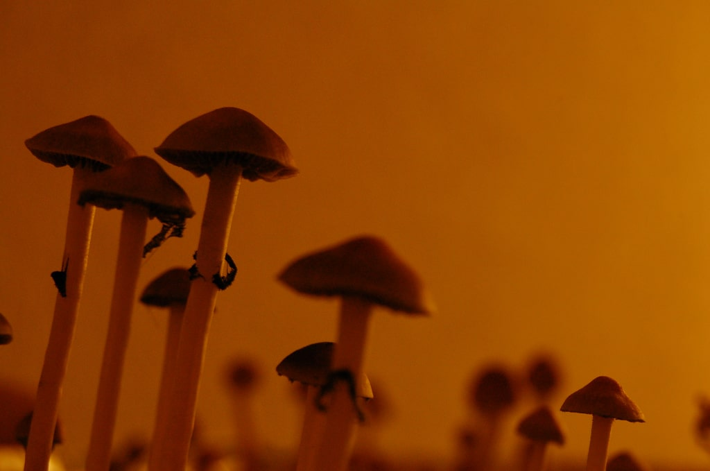 Psychedelic Rehabilitation: Can Psilocybin Mushrooms Reduce Recidivism?