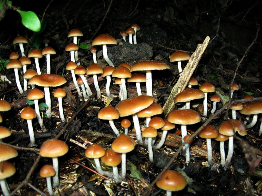 Psychedelics experiences are known to offer people an unique look into their personality., and new research shows that the revelations people have while using psilocybin can have lasting effect. | Image Source: Wikimedia Commons