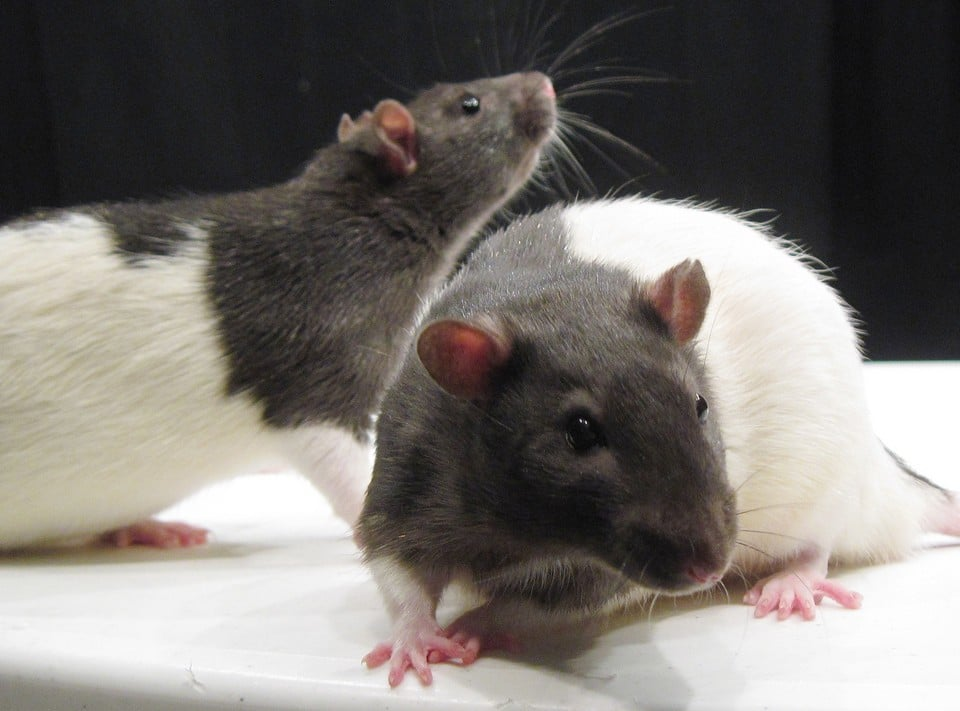 Though it wasn't a popular theory at the time, the Rat Park Experiment in the 1980s showed the positive effects of socialization and connection against the temptations of addiction. | Image Source: Flickr User Jason Snyder