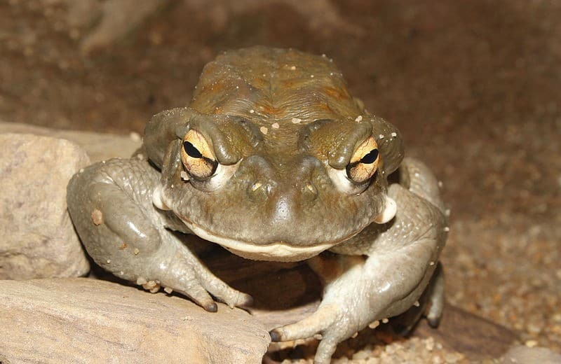 Bufo Alvarius, a species of toad that contains 5-MeO-DMT.  Photograph by H. Krisp.