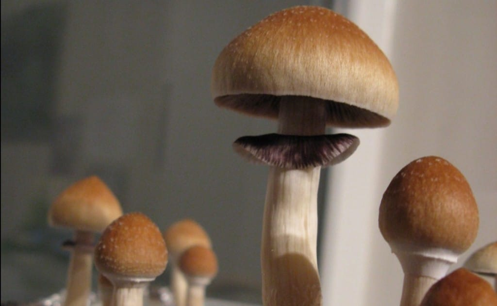 Psilocybe cubensis, a commonly-used psychedelic mushroom containing psilocybin, is the focus of a seminal new study on psychedelic dosage by Dr. Roland Griffiths. | Image Source: Wikimedia Commons user Zergboy