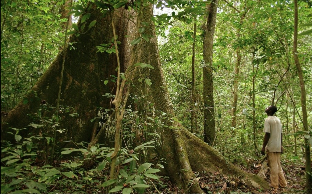 Iboga grows naturally in Gabon, Africa, but overharvesting threatens the world's supply as well as indigenous cultures' access to their traditional medicine.   Image Source: Flickr user Axel Rouvin