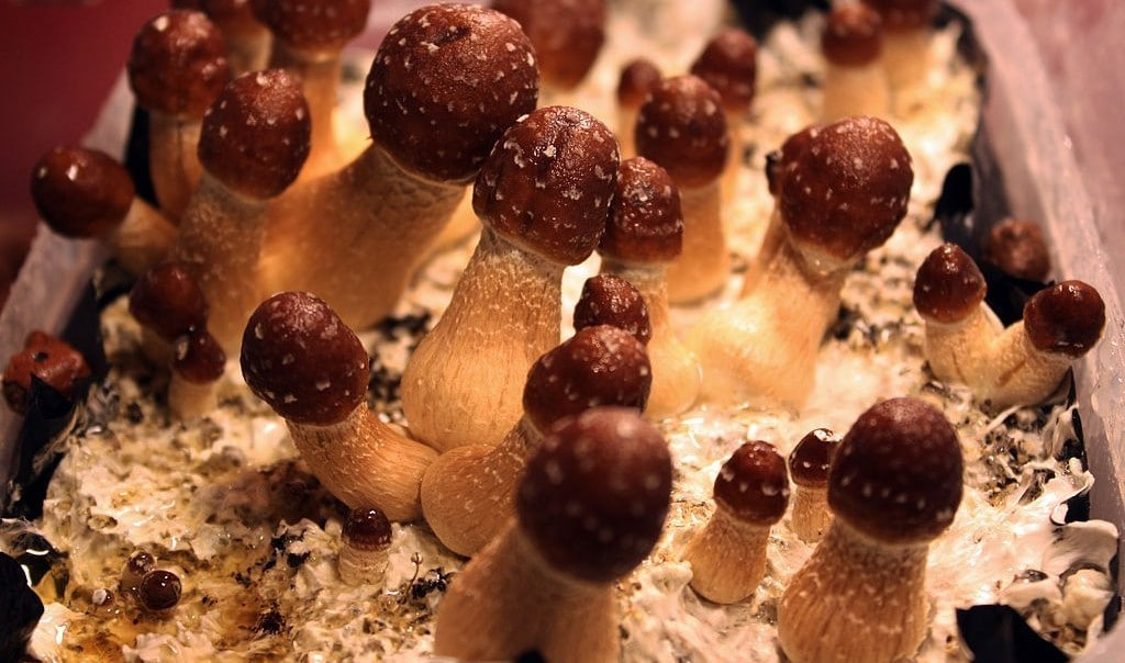 What Are the Medicinal and Spiritual Benefits of Psilocybin Mushrooms?
