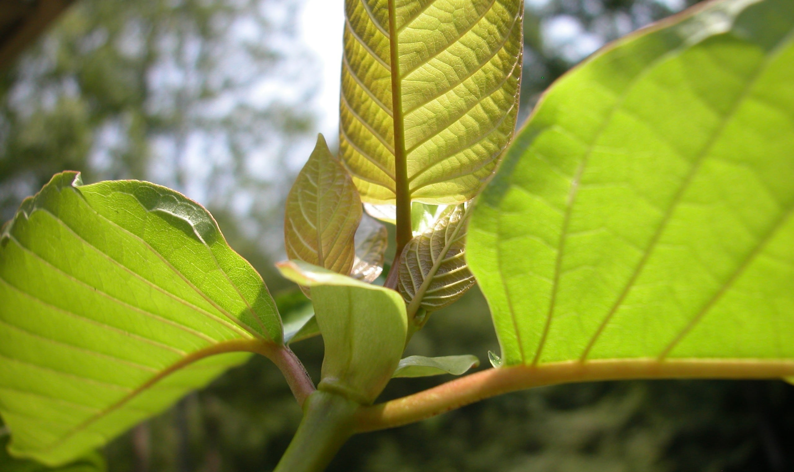 The Ins and Outs of Using Kratom As an Alternative Addiction Treatment