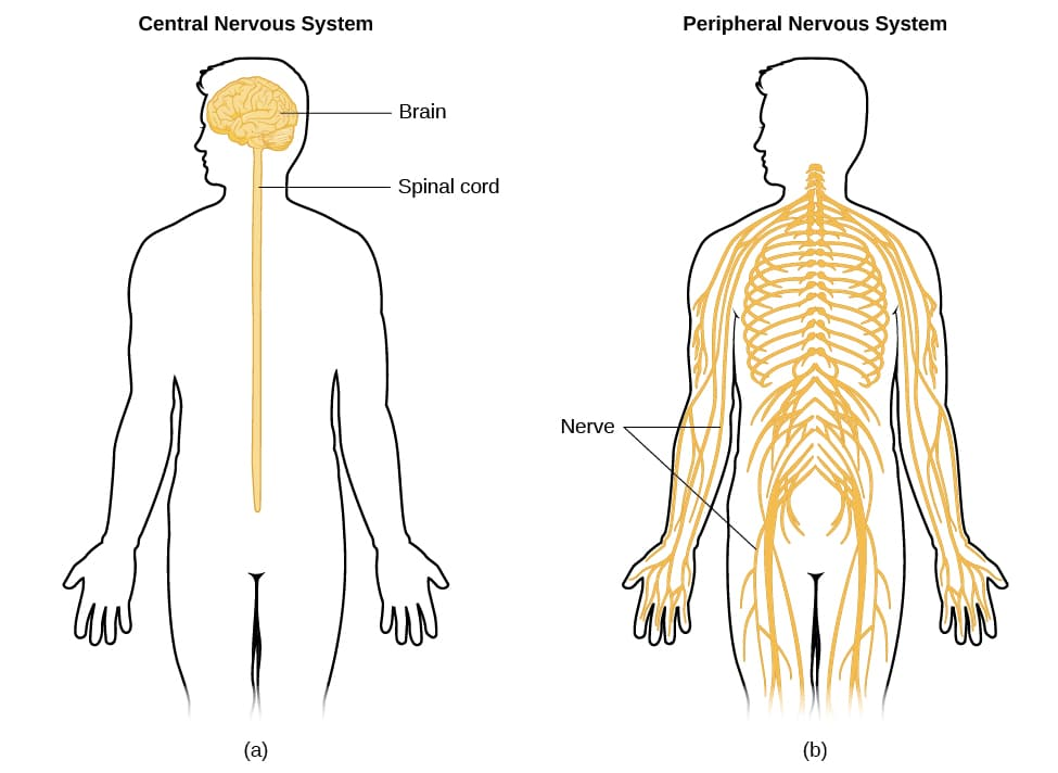 The peripheral nervous system extends through most of the body and extremities. | Image Source: OpenStax via cnx.org