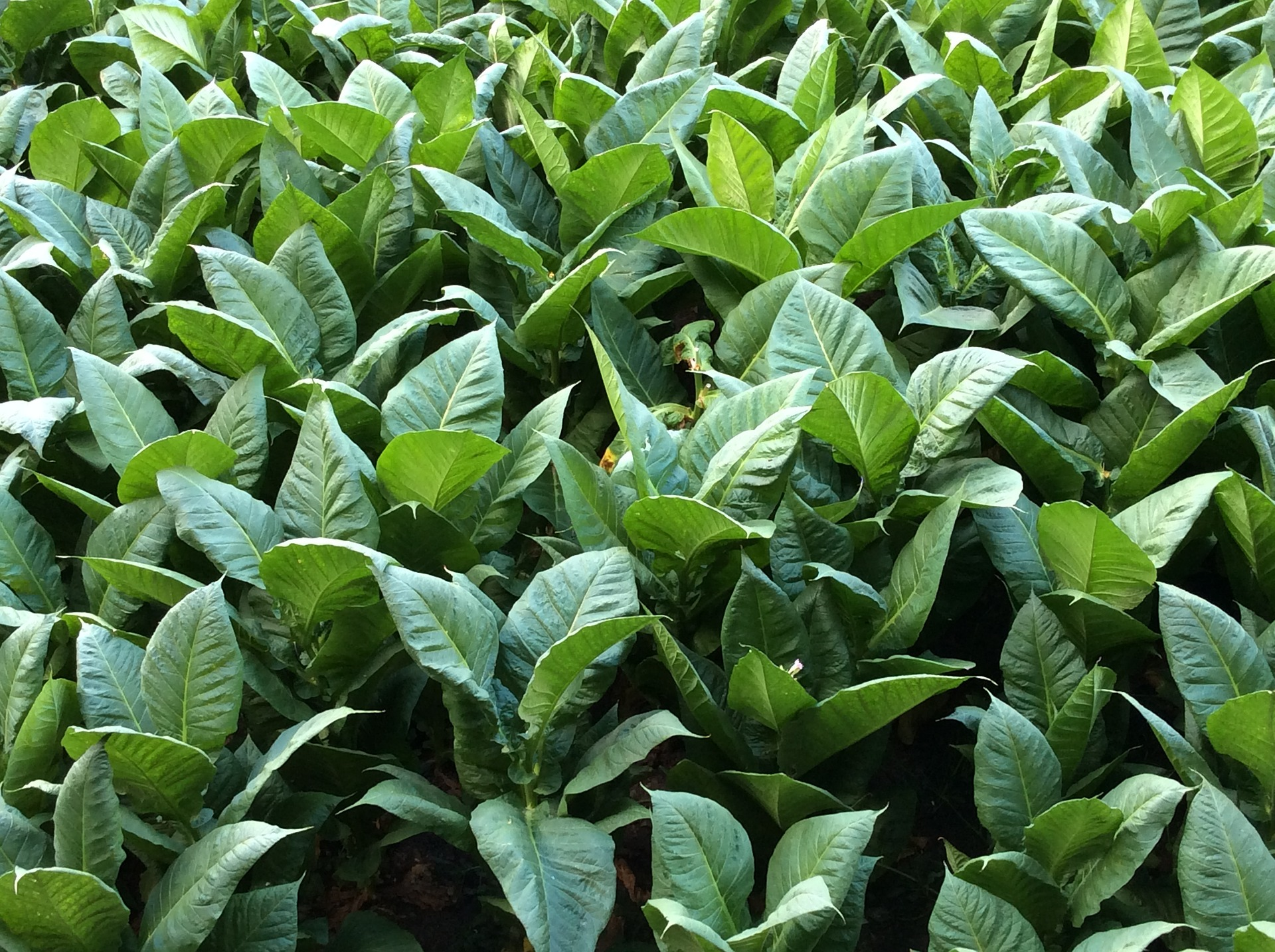 Healing With Tobacco: Rapé Tribal Snuff