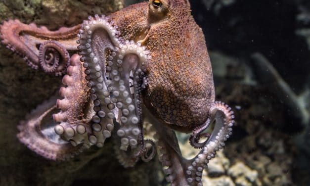 Weird Science: Octopuses Rolling on MDMA Become More Social